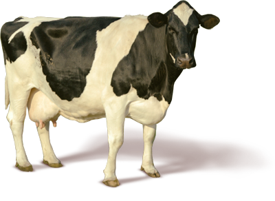 cow_PNG2135